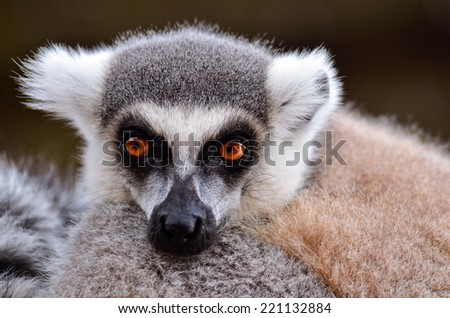 A lazy lemur watching the photographer - stock photo