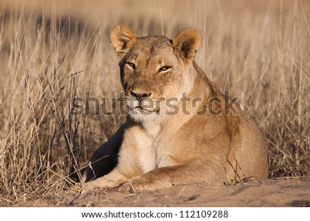 A lazy lioness in golden light