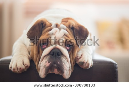 A lazy looking British Bulldog on the sofa