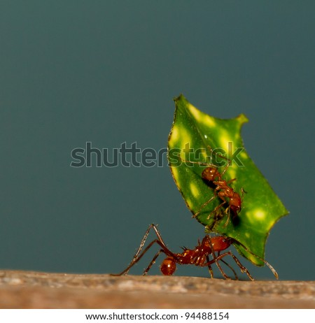 A leaf cutter ant is carrying a leaf - stock photo