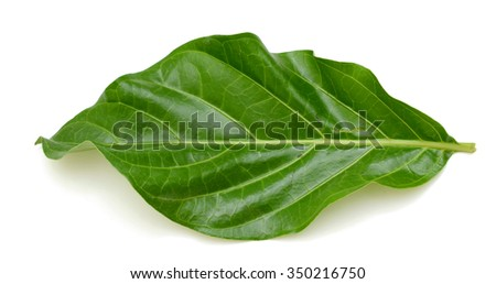 A leaf of Noni fruit isolated on white background