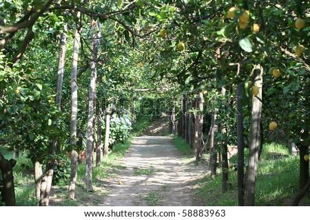A Lemon orchard along the Italian coast - stock photo