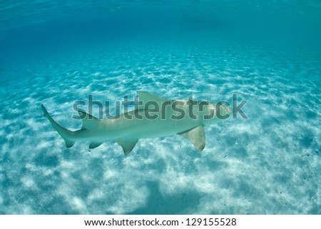 A Lemon shark cruises through the clear shallow waters near Bora Bora in French Polynesia.  This area is known for its large shark population. - stock photo