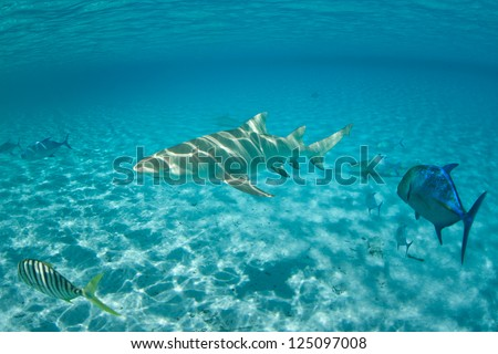 A Lemon shark (Negaprion acutidens) cruises over white sand through crystal, clear, shallow water in the waters off Bora Bora in French Polynesia.  This area is known for lots of sharks. - stock photo