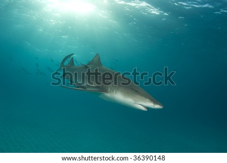 A lemon shark (Negaprion brevirostris) with a school of fish following with a sunburst behind and the rippled ocean floor below