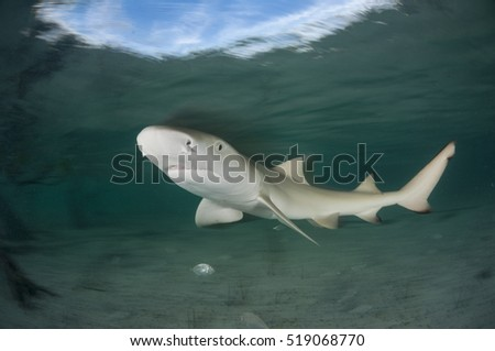 A lemon shark pup portrait showing movement with a slow shutter speed.