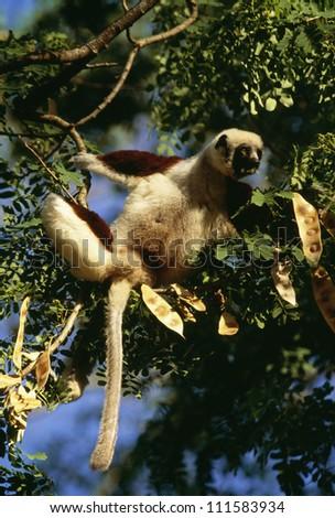 A lemur in a tree, Madagascar - stock photo