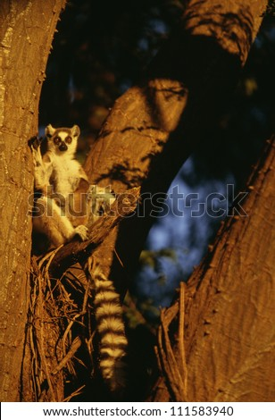 A lemur, Madagascar - stock photo