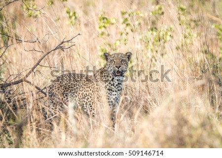 A Leopard blending in in the high grass in the Kruger National Park, South Africa.
