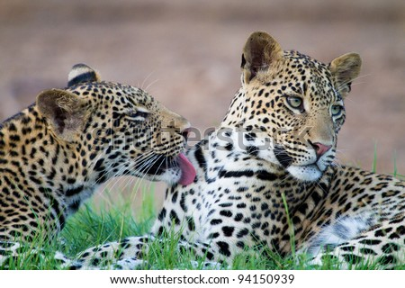 A leopard cub licking its brother - stock photo