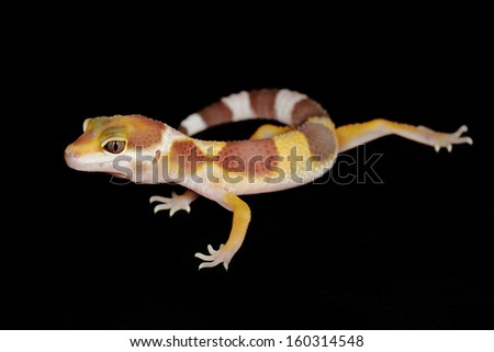 a leopard gecko on a black background