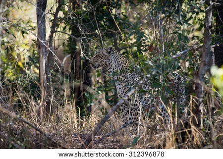 A leopard hidden in the bush in Sabi Sands  in greater Kruger National Park, South Africa. - stock photo