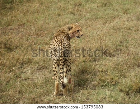 A leopard in the Masai Mara nature reserve