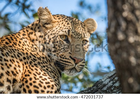 A Leopard looking back in a tree in the Kruger National Park, South Africa.