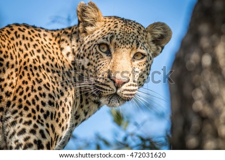 A Leopard looking back in the Kruger National Park, South Africa.