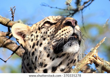A leopard looks up into a tree before climbing it to retrieve his meal he caught earlier in the day. Kruger National Park, South Africa - stock photo