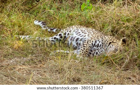 a leopard resting on the ground in the Moremi Game reserve in Botswana, Africa