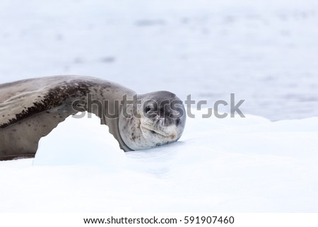 A Leopard Seal in the antarctic Peninsula