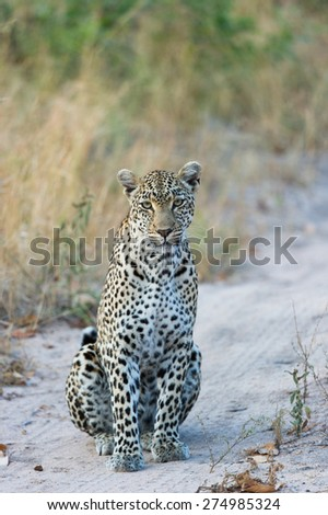 A leopard sitting on a dirt road and staring inquisitively into the camera - stock photo