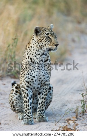 A leopard sitting on a dirt road and staring inquisitively to the right - stock photo