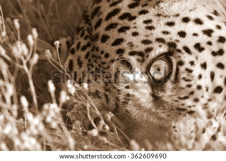 A Leopard stares at the camera in this beautiful sepia tone image. Africa - stock photo