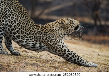 A leopard stretching - stock photo