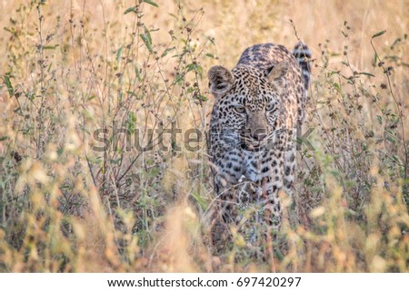 A Leopard walking in the grass in the Sabi Sand Game Reserve, South Africa.
