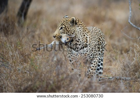 A leopard with a steenbok baby carcass - stock photo