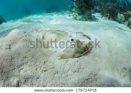 A lesser electric ray (Narcine bancroftii) blends into a shallow sand flat off Turneffe Atoll in Belize. This species can generate voltage of 14 - 37 volts to stun prey or for defense. - stock photo