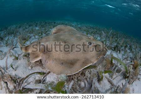 A Lesser electric ray (Narcine bancroftii) swims over a shallow sand flat off Turneffe Atoll in Belize. This interesting animal uses self-generated electricity to defend itself and stun prey. - stock photo
