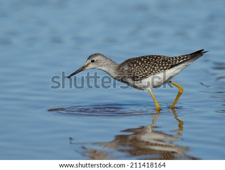 A lesser yellowlegs forages for food in a shallow pond.