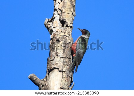 A Lewis's Woodpecker (Melanerpes lewis) perches on a dead tree at Kolob Reservoir, just outside Zion National Park, Utah, USA. - stock photo