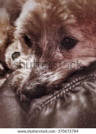A lhasa apso-sheltie mix dog making a leather jacket a bed. - stock photo