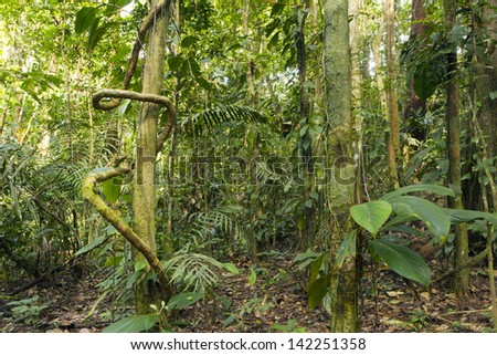 A liana winding around a rainforest tree in Ecuador - stock photo