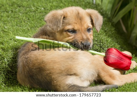 A light brown mutt mix puppy lies in a grassy knoll, looking over its shoulder, holding a cut red tulip in its mouth (spring)