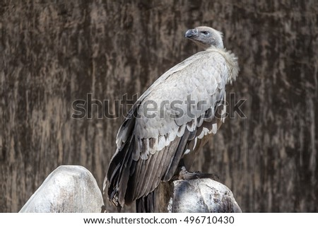 A light colored Southern Africa's endemic vulture