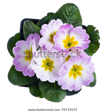 A light pink primrose isolated on white