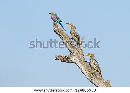 A lilac breasted roller and two yellow billed hornbills perch on a dead tree branch, Kruger Park, South Africa. (Coracias caudata), (Tockus leucomelas) - stock photo