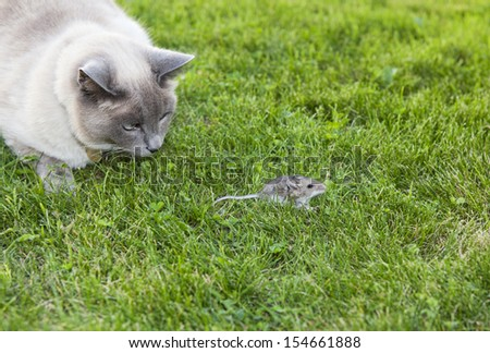 A Lilac Point Siamese cat hot on the trail of a  wild mouse. - stock photo