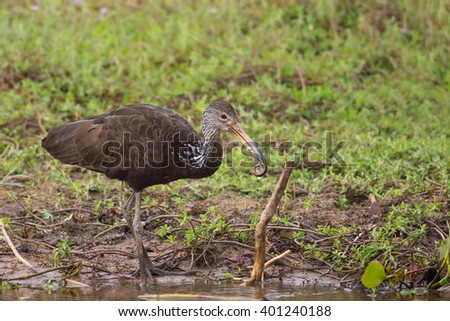 A Limpkin (Aramus guarauna) standing by water with a snail in its beak, against a blurred natural background, Brazil - stock photo
