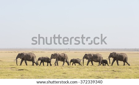 A line of African Elephants walking through Amboseli in Kenya - stock photo