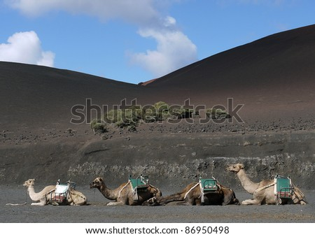 A line of dromedary camels on hills of black ash