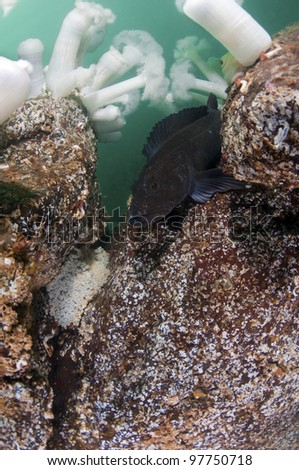 A ling cod guarding a clutch of eggs - stock photo