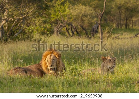A lion and Lioness resting in the late afternoon sun. Kruger National Park, South Africa - stock photo