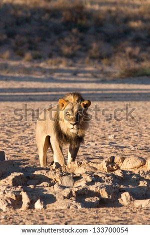 A lion at a waterhole