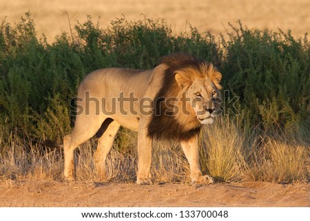 A lion at sunrise - stock photo