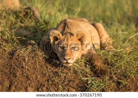 A Lion cub in the Ngorongoro Crater in Tanzania - stock photo