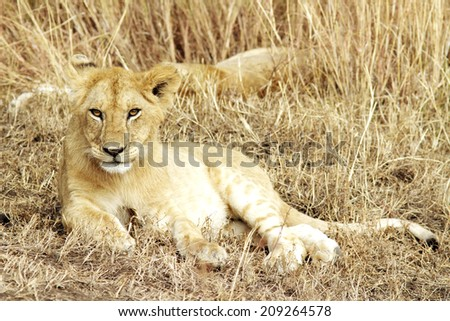 A lion cub (Panthera leo) on the Maasai Mara National Reserve safari in southwestern Kenya. - stock photo