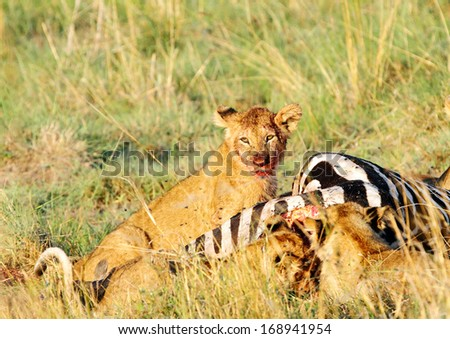 A lion cub with blood stain on mouth after eating Zebra - stock photo