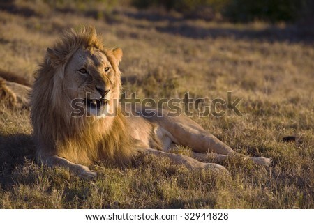 A lion gives a warning snarl to the photographer - stock photo
